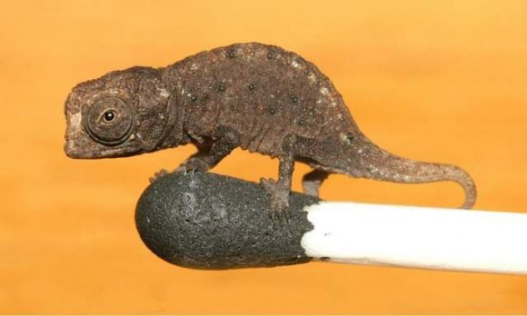 Brookesia micra chameleon